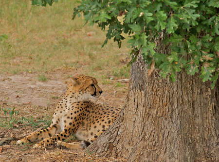 Cheetah laying in the shade of a tree looking away with ears cocked back in a defensive and alert position.