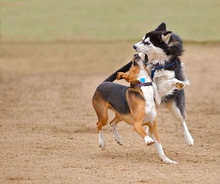 beagle mix: Siberian Husky play fighting with a beagle mix while running in the park.
