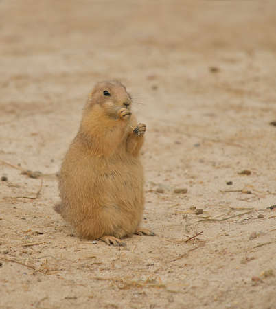 nibbling: Prairie Dogs (Cynomys) nibbling on a piece of straw. Stock Photo