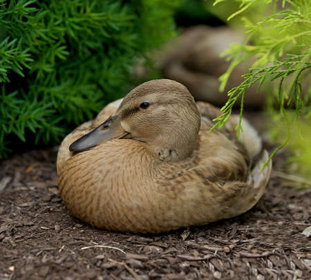 Female Duck (Gadwall Anas strepera) relaxing with her beak nestled in her plumage. Stock Photo