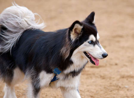 saami: Selective focus image of Siberian Husky with beautiful blue eyes, panting while playing in the park.