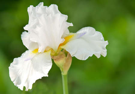 Beautiful selective focus image of a bearded iris in full bloom.   photo