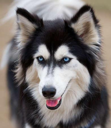 Siberian Husky face close up.