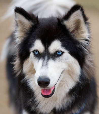Siberian Husky face close up.