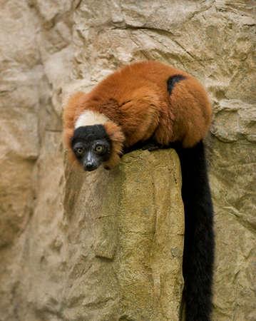 Red Ruffed Lemur sitting on rocks.