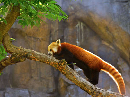 catlike: The Red Panda (taxonomic name: Ailurus fulgens) is a small mammal and is protected in all countries where it lives. Stock Photo