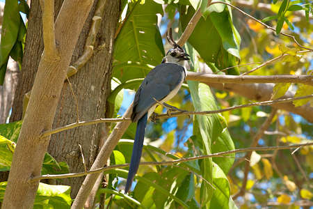 The White-throated Magpie-Jay, Calocitta formosa, is a large Central American jay species. It ranges in Pacific-slope thornforest from Jalisco, Mexico to Guanacaste, Costa Rica. Magpie-jays are noisy, gregarious birds, often traveling in easy-to-find floc
