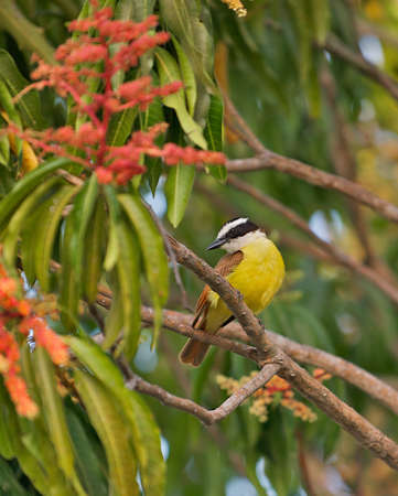 The Social Flycatcher and Vermilion-crowned Flycatcher (Myiozetetes similis) are passerine birds from the Americas, a member of the large tyrant flycatcher family (Tyrannidae). It is sometimes split into two species, with the Social Flycatcher, Myiozetete