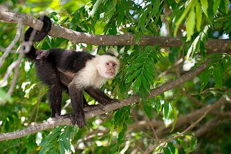 코스타리카 열 대 우림에서 흰색 직면 된 카푸 친 회 원숭이