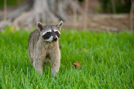 Racoon wandering through the grass, looking ahead with a curious buy fearful expression.