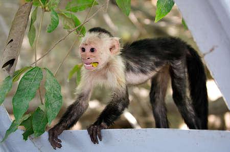 Baby white faced capuchin monkey eating a banana peel.