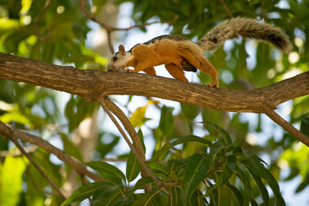 Variegated squirrel (Sciurus variegatoides), scampering along a tree branch in the Guanacaste province of Costa Rica. Stock Photo