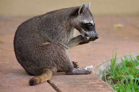 varmint: Racoon eating something he found in the garbage.