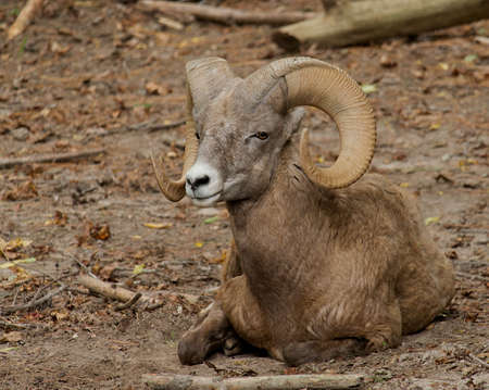 Bighorn Sheep laying in the dry dirt.