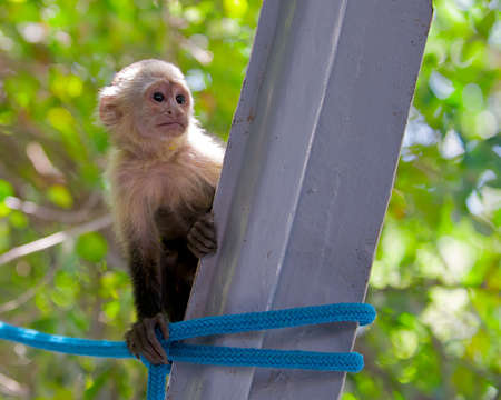 Young and curious white-faced capuchin monkey in the Palo Verde area of Costa Rica.
