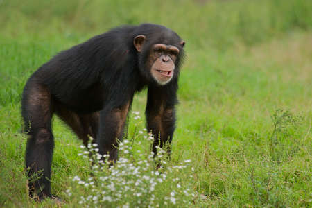 Chimpanzee (Pan Troglodytes) in the grass with a humorous expression.