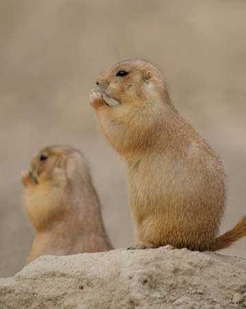 Prairie Dogs (Cynomys) nibbling on food.