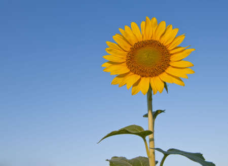 Sunflower surrounded by sky Stock Photo