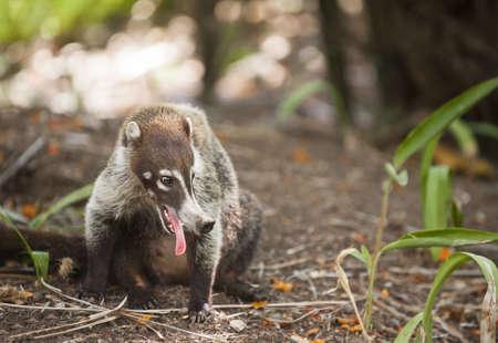 Closeup of Ring-tailed Coati (Nasua nasua) panting in the heat of Costa Rica. Stock Photo