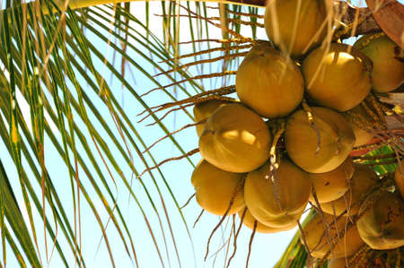 Coconuts hanging in a tropical palm tree. Stock Photo