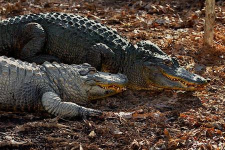 Two alligators showing their teeth.