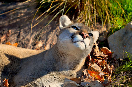 Cougar basking in the sunlight. photo