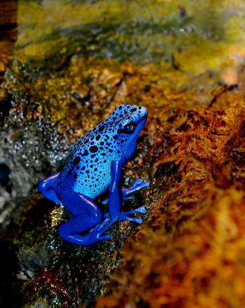 Blue Poison Dart Frog (Dendrobates azureus). Stock Photo