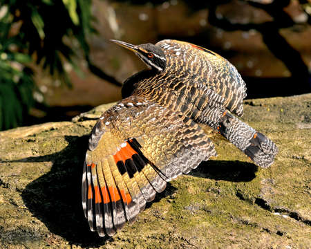 Beautiful Sunbittern (Eurypyga helias).