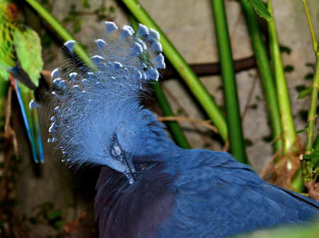 Victoria Crowned Pigeon (Goura victoria) a bird native to New Guinea, preening itself and showing off its crest of head feathers.