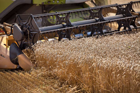 harvest: Harvester collects ripe wheat in the field