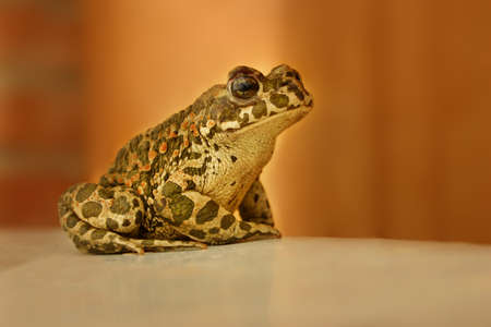 anuran: Frog sitting on a brown background brilliant Stock Photo