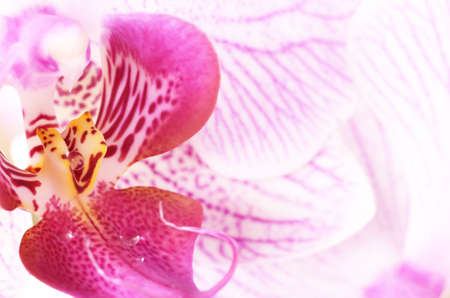 Pink and white orchid flower closeup photo photo