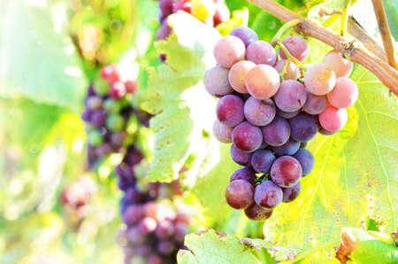 Blue grapes cluster on vine, closeup
