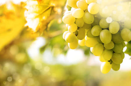 grapes on vine: Green grapes on vine over bright background