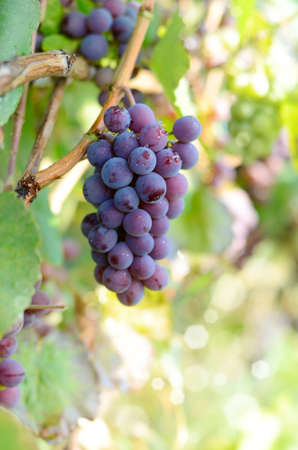 Blue grapes cluster on vine