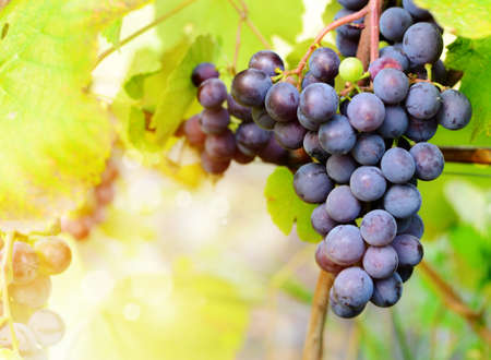 grape harvest: Blue grapes cluster on vine with copy-space against sunlight