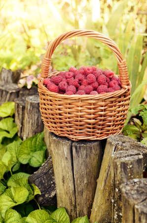 Fresh ripe organic raspberries in the wicker basket closeup photo