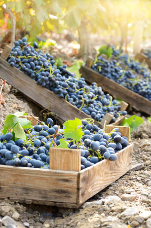 Wooden crates fool of harvested grapes at vineyard evening time Stock Photo