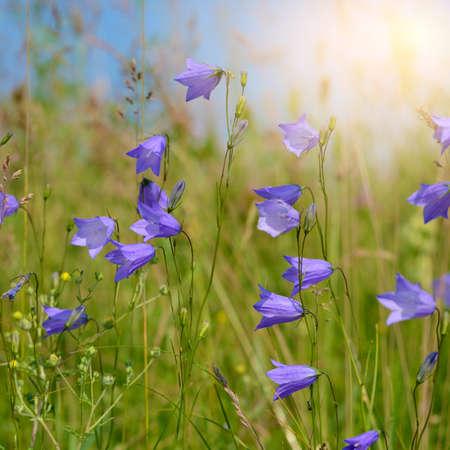 field of flowers: Campanula field flowers against sunlight