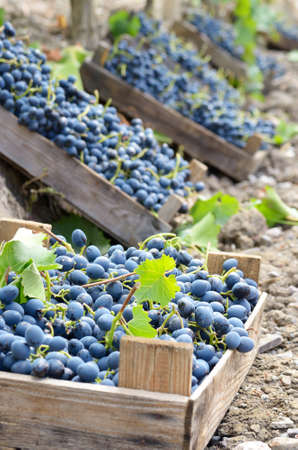 Harvested blue grapes in wooden crates at vineyard autumn time
