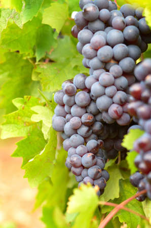 Green grapes on vine over bright background photo