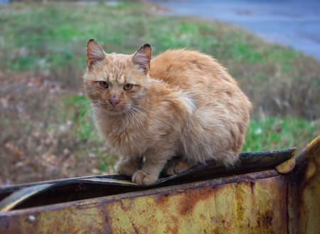 animal welfare: Stray Ginger Cat
