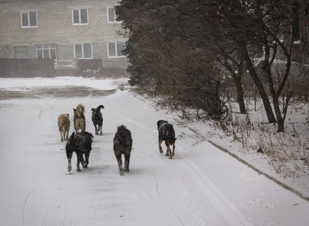 fled: Makeevka, Ukraine - December, 24, 2014: Pack of stray dogs whose owners have fled their homes to escape the war
