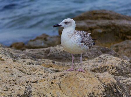 aciculum: Seagull on the Crimean coast Stock Photo