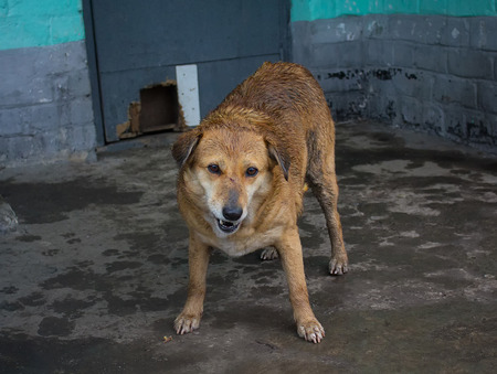 cur: Wet stray dog