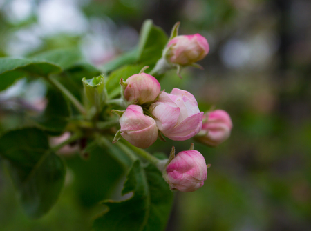 The buds of apple blossom close-up photo
