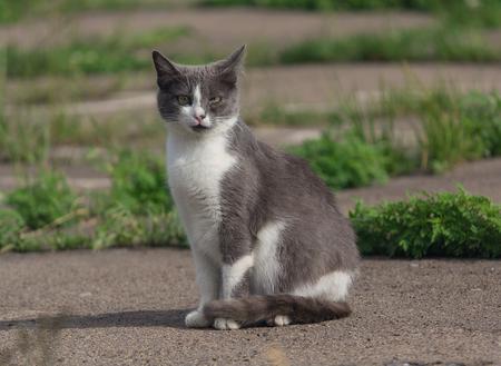 gray cat: Homeless gray cat
