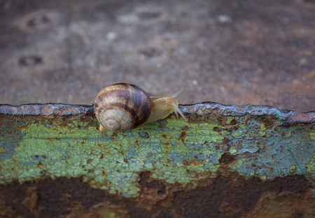 hermaphrodite: Lone snail crawling on rusty metal surface