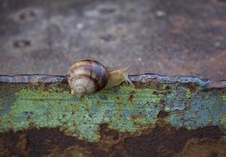 Hermaphrodite: Lone snail crawling on rusty metal surface