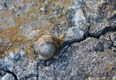 Hermaphrodite: Lone snail crawling on old cracked concrete